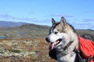 What Is An Alaskan Malamute
