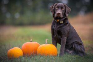 dog pumpkin