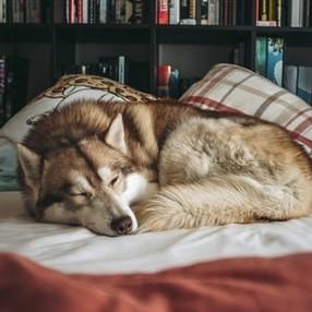 Husky In Bed