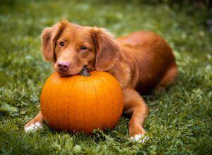 Dog Loves Pumpkin