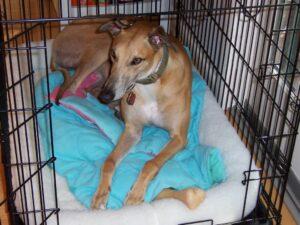 Greyhound In Dog Crate
